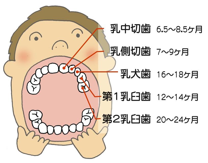 乳歯 生える 時期